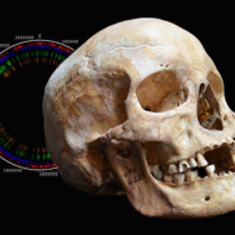 Skull analysis