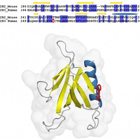 SH2B3 [Ellinghaus et al.]   Structure-based alignment and model of the human SH2B3 PH domain using mouse SH2B2 as a template. The homologous protein domains share 45% sequence identity. Secondary structure assignment is depicted on top of the alignment. The variant position W262 is highlighted in red. Beta strands are colored yellow, alpha helix in blue. The PH domain folds into a partly open beta barrel capped by an alpha helix. rs3184504 affects amino acid position 262 that locates at the beginning of a l