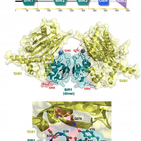 XIAP (Zeissig et al.) Structural analysis of the XIAP protein. Top: Illustration of the XIAP domain organisation indicating the position of private variants associated with paediatric-onset CD [Zeissig et al.]. Middle: Cartoon and surface representation of the BIR1 domain in complex with TAB1. G39C is represented as spheres in atomic colors. The location of protein truncation by E99X is coloured red. Bottom: Detailed atomic view of G39 and surrounding residues.Y75 on a neighbouring loop interacts with TAB1